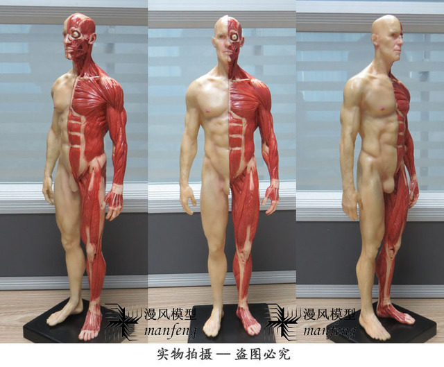 1 Piecebox Pu Material The Standard Model Of The 30cm Male Human