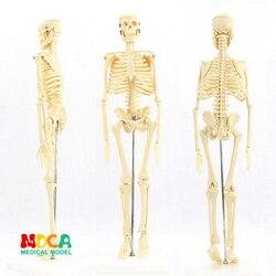 Padrão médico para belas artes e medicina 45 cm esqueleto modelo de humano. Modelo de esqueleto mgg101