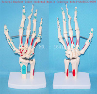 Naturally big Foot joint skeleton Muscle coloring model Human skeleton Skeleton model Medical teaching model GASENCX 0009