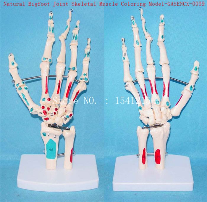 Naturally big Foot joint skeleton Muscle coloring model Human skeleton Skeleton model Medical teaching model-GASENCX-0009 plastic standing human skeleton life size for horror hunted house halloween decoration