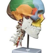 SHUNZAOR анатомический скелет человека анатомическая модель для продажи Череп с цветными костями шейного позвонка медицинский бежевый скульптура