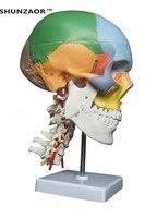 SHUNZAOR human anatomy skeleton anatomical model for sale skull with colored bones cervical vertebra Medical Beige Sculpture