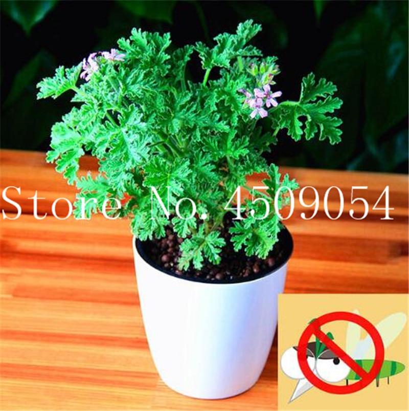 Trees 100pcs Mosquito Repellent Plants Citronella Green Plant