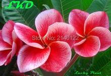 7-15inch Rooted Plumeria Plant Thailand Rare Real Frangipani Plants no95-gledtubtim
