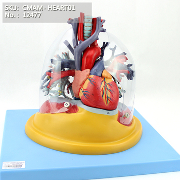 CMAM/12477 Transparent Lung, Trachea and Bronchial Tree with Heart, Human Heart Medical Teaching Anatomical Model