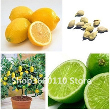 Edible fruit plant Meyer Lemon bonsai, Exotic Citrus Bonsai Tree Fresh plants vegetable Seedsplants