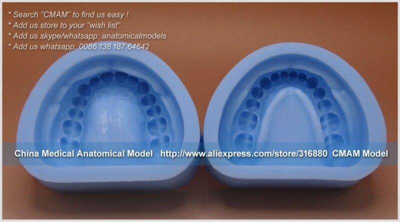 23303 Dental Permanent Teeth Plaster Model Mold 33