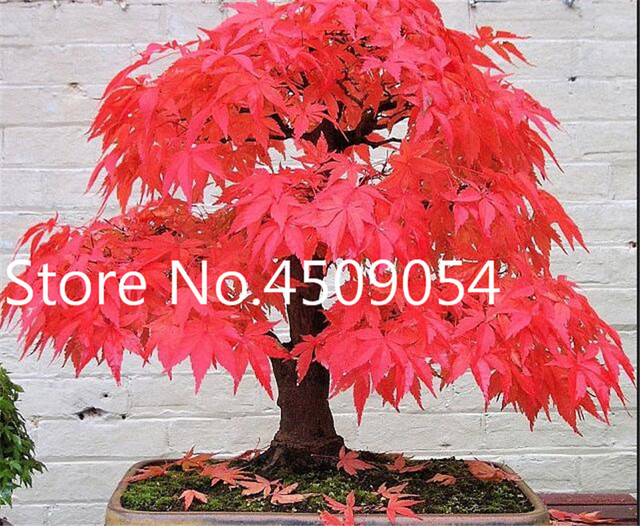 American Maple Seeds (500 Pieces)