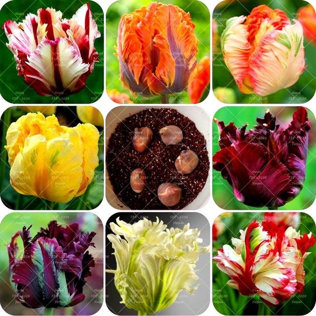 2 bombillas verdadero tulipán bombillas (no tulipán semillas) rara
