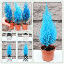50 Pcs Mini Blue Cypress Semo Rare Japanese Bonsai Plants Perennial Ornamental Potted Tree for Home Garden Decoration