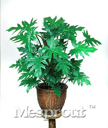 100PCS Specials Philodendron Seeds Potted Bonsai Plant Philodendron Flower Seeds * Home Garden Pot Bonsai