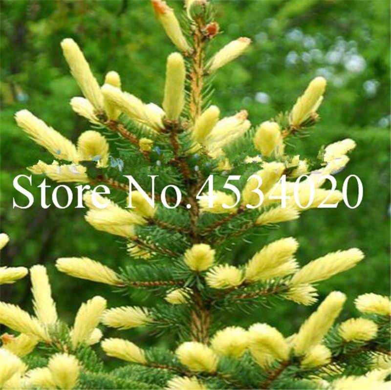 Bonsai drzewa koreański jodła Bonsai drzewa-Abies Koreana-drzewo Sow całą rok drzewa dekoracji rośliny doniczkowe dla domu Garden-30pcs