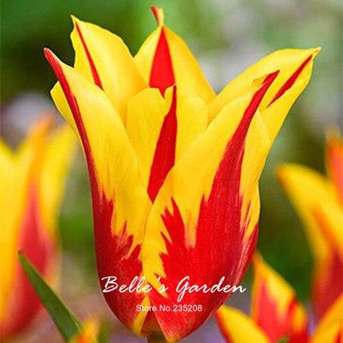 5pcs Rare Red Yellow Edge Tulip Bulbs Bonsai Tulip Flower Tulipa