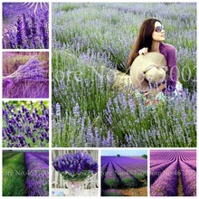 100 pcs Italian Lavender Flower Heirloom Charming Fragrant Flore Potted Plante Fast Growing Outdoor,Beauty Your Garden Planten(China)