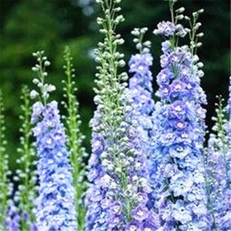 花盆栽 100 ピースデルフィニウムミックス巨大なデルフィニウム Cultorum 鉢植え庭の花植物屋外 (ダ華飛ヤン曹操)
