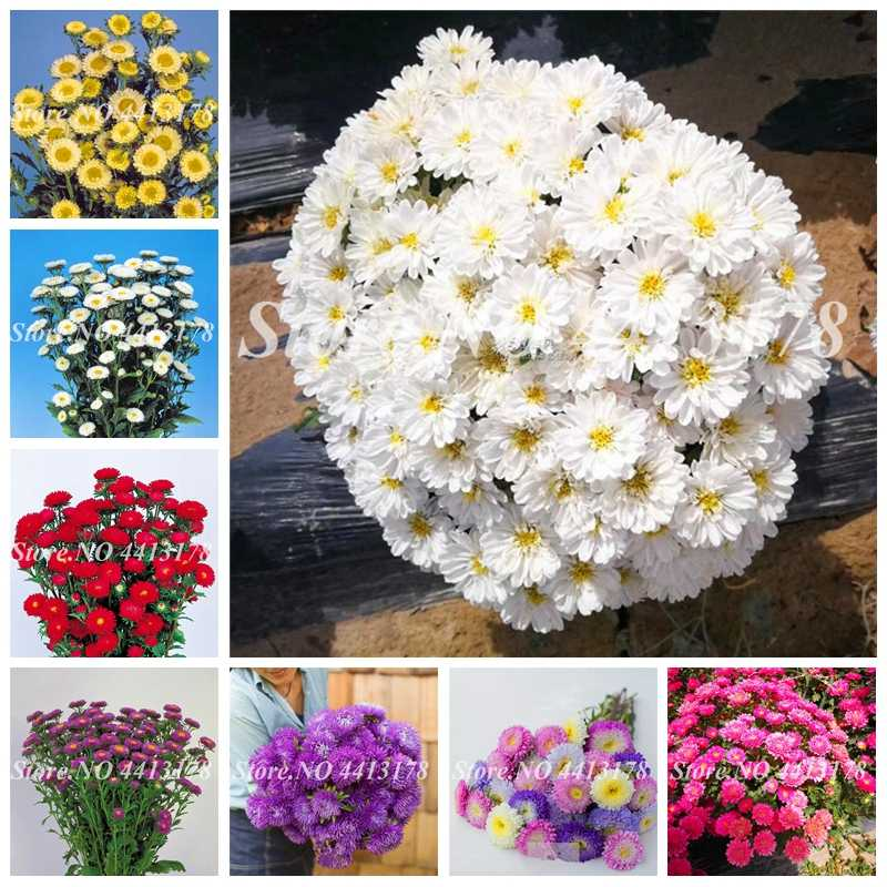 200 pcs/ bag Rare Flower Aster CALLISTEPHUS Chinese Chrysanthemum Mixed Color Bonsai for Home Garden Decor Free Shipping