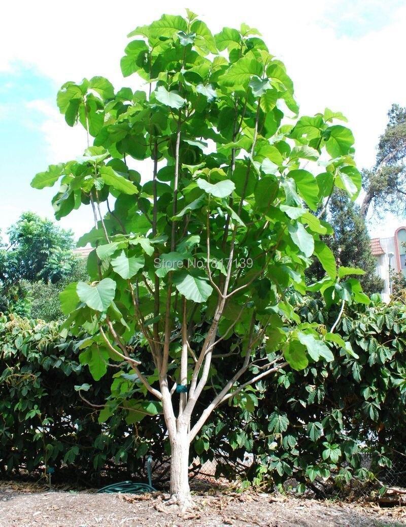 Achetez en Gros teck arbre graines en Ligne à des Grossistes teck arbre grain...