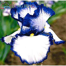 50 pcs/bag pink iris seeds bearded iris seeds rare bonsai iris Phalaenopsis Orchid flower seeds Nature plants for home garden(China)