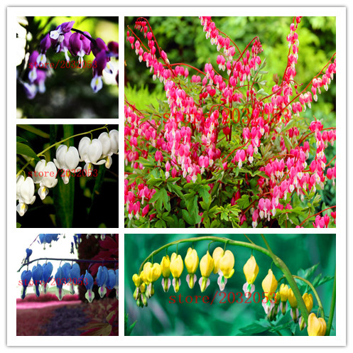 Dicentra spectabilis seeds purple aurora heary orchid flower rare dicentra spectabilis seeds purple aurora heary orchid flower rare shade perennial flower seeds for home garden planting in bonsai from home garden on mightylinksfo
