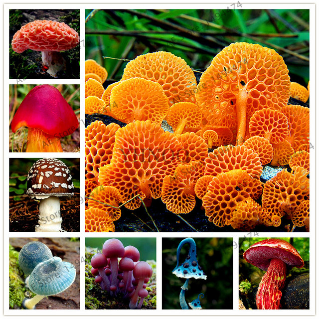 Snow White's Edible Mushroom Bonsai Seeds (500 Pieces)