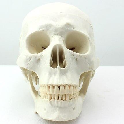 Medizinische Kunst Kunst Menschlicher Schädel Modell Asiatischen ...