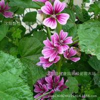 flower plant sunflower plant money collected mallow money purple sunflower plant Jing Kui Kui money Kuidong fruit 200g / Pack