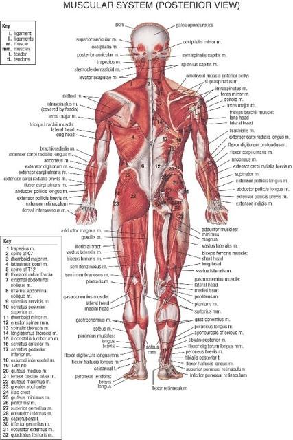 DIY rahmen Menschlichen Anatomie Muskeln System kunst poster und ...