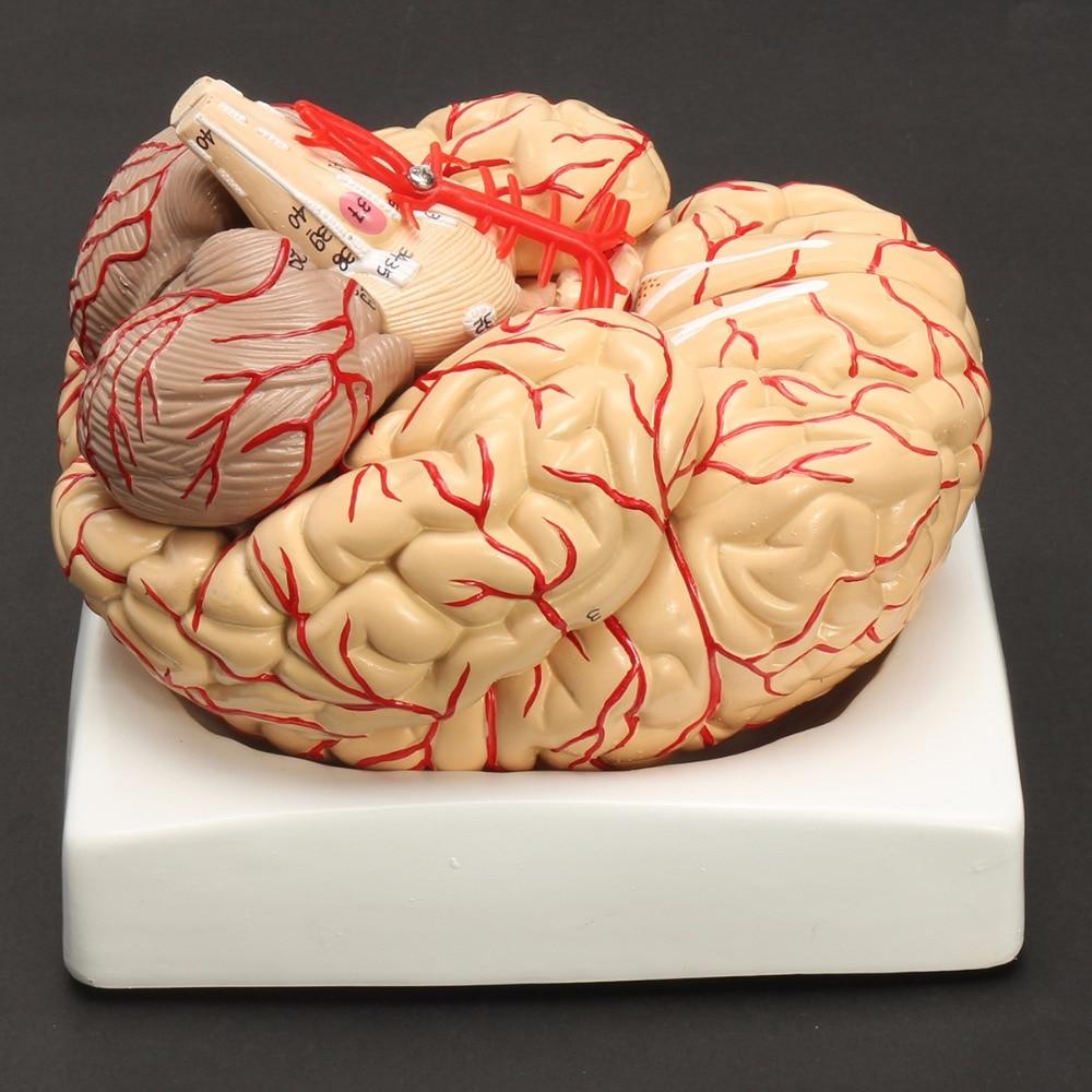 Ofis ve Okul Malzemeleri'ten Tıbbi Bilim'de Insan Yaşam Boyutu beyin anatomisi modeli Tıbbi Seti 8 Parça Beyin Beyin Arter Modeli Anatomi'da  Grup 2