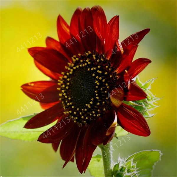 50 Pcs Mini ดอกทานตะวันดอกไม้บอนไซหายากสีดอกทานตะวันดอกไม้ในร่มพืชดอกไม้บ้านสวนประดับพืช