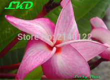 7-15inch Rooted Plumeria Plant Thailand Rare Real Frangipani Plants no29-Bermuda-3
