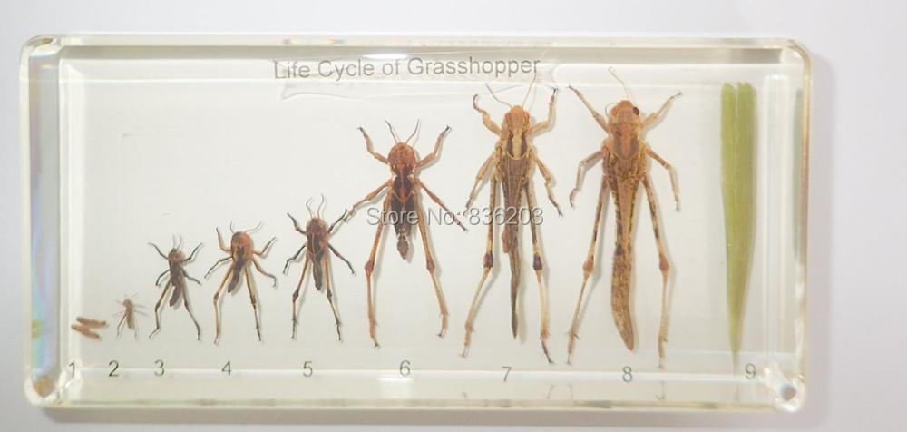 Life Cycle Of Grasshopper In Acrylic Scientific Skeleton Anatomy