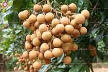 5pcs Longan seeds Chinese sweet fruit seeds outdoor bonsai perennial palnts mini litchi fruit tree for garden farm supplies