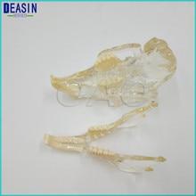 Модель зубного зуба кошки Catamount, обучающая модель зубного зуба кролика