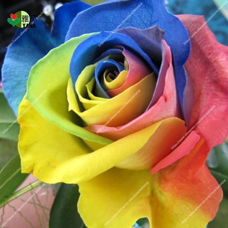 50pcs/bag Rare Holland Rainbow Rose Flower Home Garden Seeds plant Colorful
