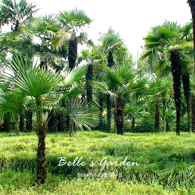 Hot Selling 25pcs/lot Palm Seeds Tree Bonsai Seeds Plant DIY Home ...