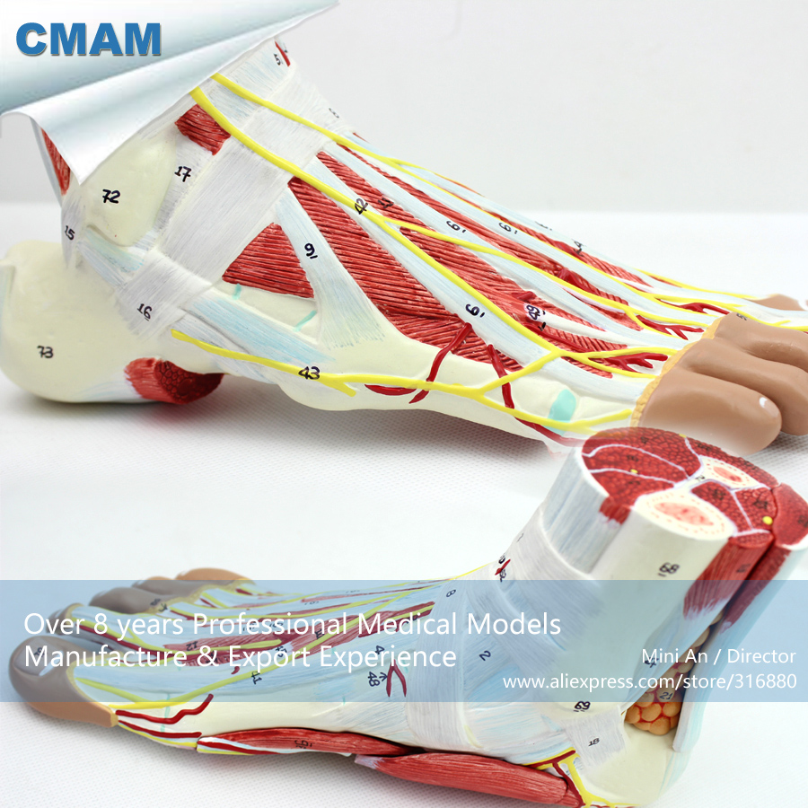12035 CMAM-MUSCLE11 Full Size 1:1 Human Anatomy Foot Muscle Model, Medical Science Educational Teaching Anatomical Models 1 2 life size knee joint anatomical model skeleton human medical anatomy for medical science teaching