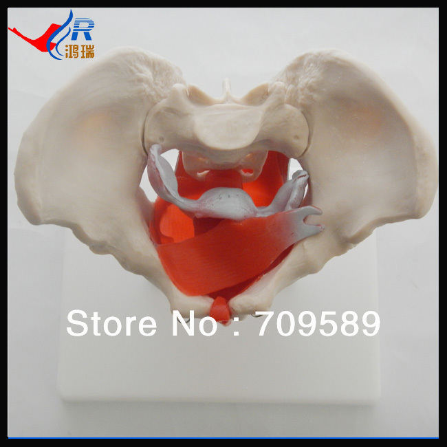Anatomical Female Pelvic With Muscles and Organs,female pelvic female pelvis with genital organs muscle rehabilitation anatomical model 4 part