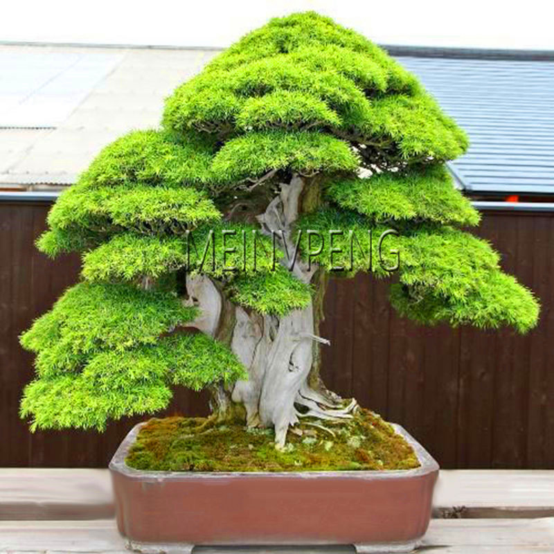 Us 0 27 64 Off Lowest Price 100 True Sacred Japanese Cedar Tree Bonsai Plant Fir Plant Home Gardens Free Shipping 100flores In Bonsai From Home