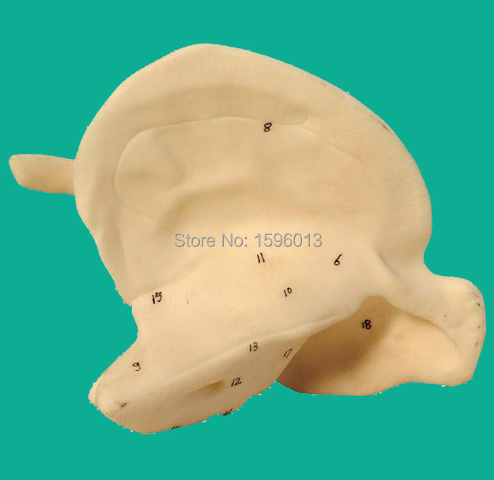 Temporal Bone Model,enlarged temporal bone model amplified alar bone sphenoid bone amplification model