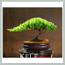 New Seeds 2018!50 Pcs/Lot juniper bonsai tree potted flowers office bonsai purify the air absorb harmful gases,#WNXUMU