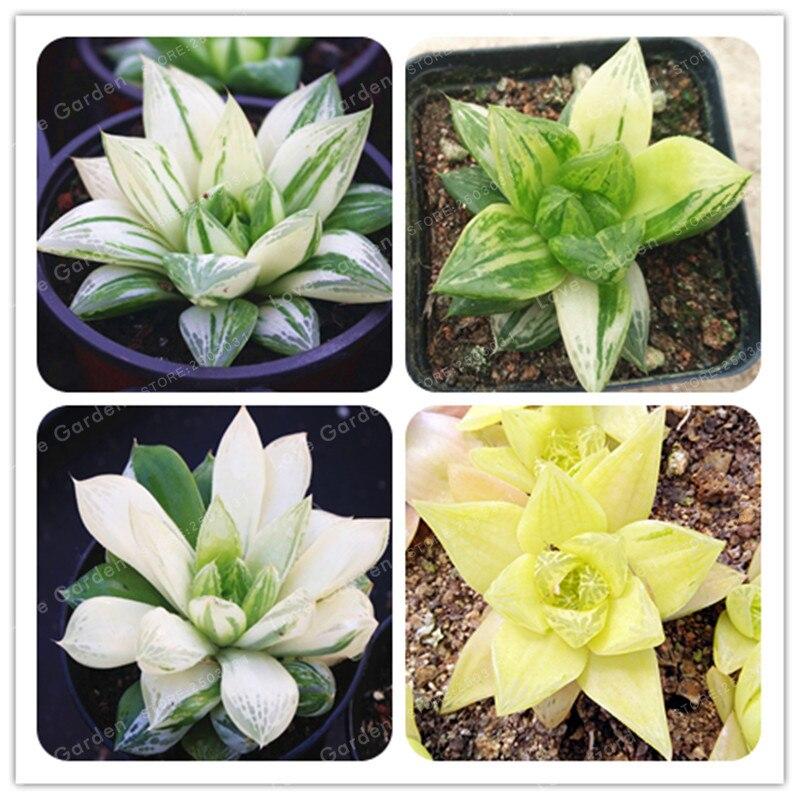 100 Pcs Haworthia Cymbiformis Seeds Office Desktop Flowers Succulents Anti Radiation Computer Potted Plants Purify The Air