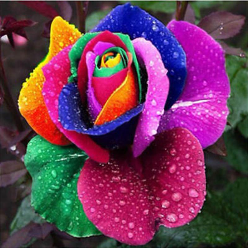 Beautiful Rainbow Color Rose Bonsai In Stock Flowers Seeds Plants Garden Decoration 100 Pcs