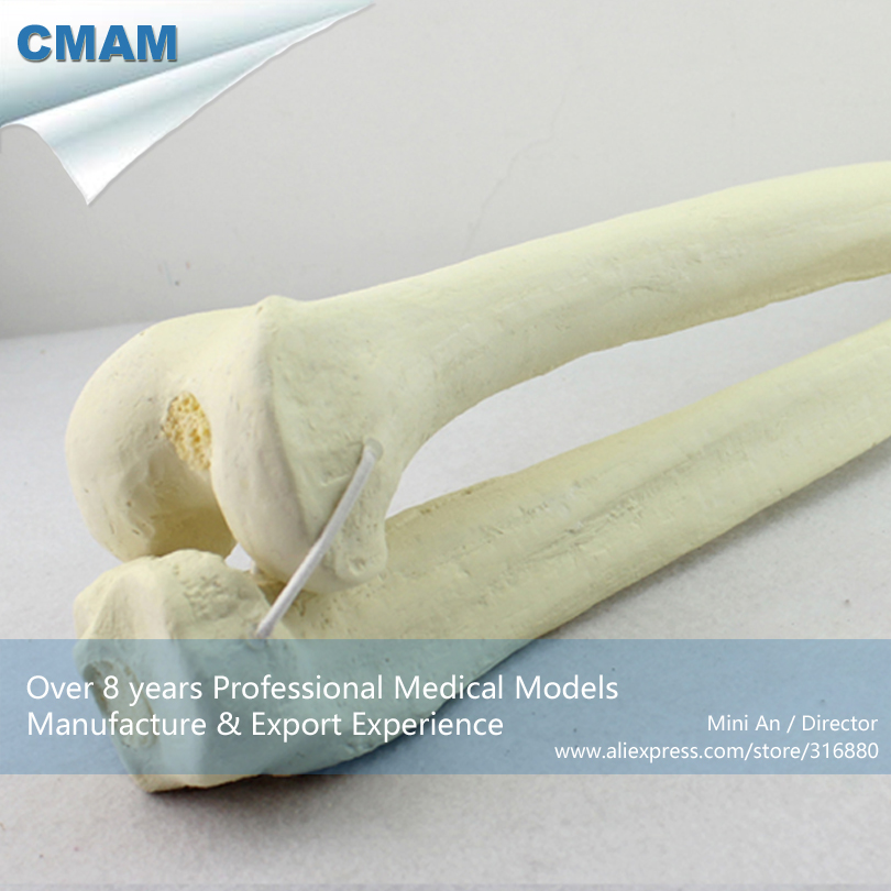 CMAM-TF04 Human Femur with Tibia Skeleton Orthopaedic Drilling Model,  Medical Science Educational Teaching Anatomical Models cmam dental30 quality resin human permanent teeth carving models with base for engraving teaching