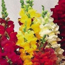 50+seeds/pack RAINBOW MIX SNAPDRAGON FOWER SEEDS / RE-SEEDING ANNUAL