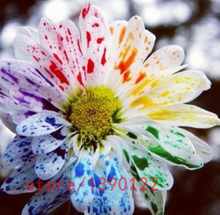 100pcs/bag rainbow daisy,daisy seeds,rainbow chrysanthemum,bonsai flower seeds,natural beautiful potted plants for home garden