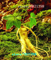 100 Semillas Estratificado Chino resistentes Panax Ginseng Ginseng Corea Semillas, Semillas de Hierbas, Cultivar sus propias Raíces de Ginseng