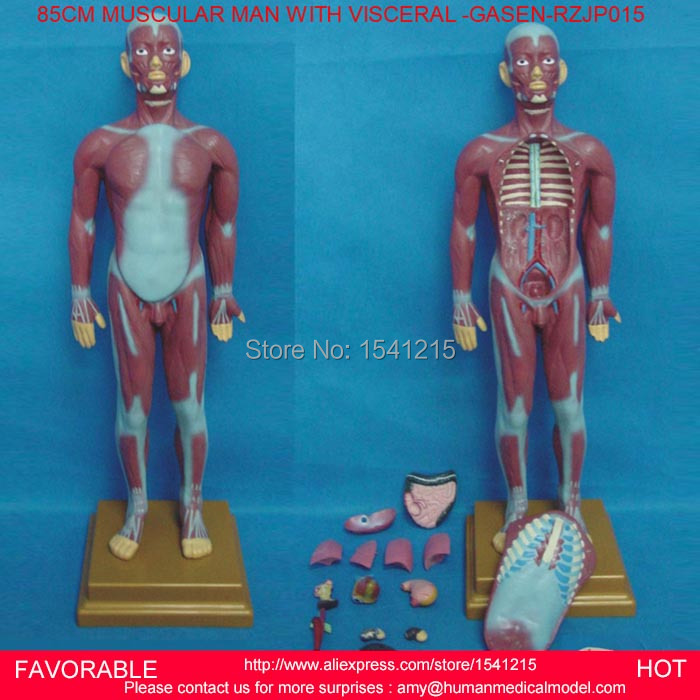HUMAN TORSO MODEL,MALE TORSO MODEL,ANATOMICAL MODEL, ANATOMY MEDICAL MODEL, MUSCULAR MAN WITH INTERNAL ORGANS -GASEN-RZJP015 42cm male 13 torso model torso anatomical model of medical biological teaching aids equipment