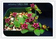 1 упаковке 100 семена Brachystelma семена диких цветочных растений, подходит для сада, балкон, озеленению крыш
