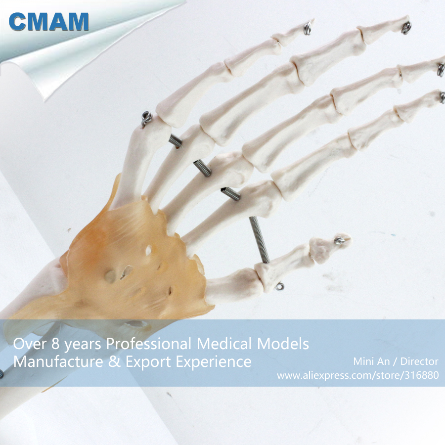No. 12350 , Hand Bone with Ligament, Medical Science Didactic Joint and Extremities Model , CMAM china medical anatomical models no 12314 hip and femur bone model of orthopedics implantation practice cmam china medical anatomical models