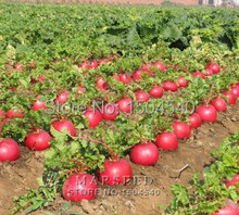 400 seeds Organic garden vegetable red radish seeds,very tasty,0.5-1.5 kg weight, four seasons can be sown